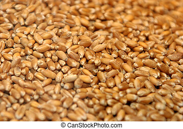 seeds - wheat seeds