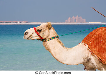 Camel on Jumeirah Beach Dubai. Atlantis the Palm can be seen...