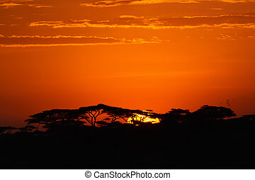 African sunrise - Acacia trees at the African savanna with...