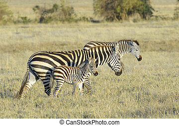 Zebra Equus quagga walking with foal on savanna at sunrise,...