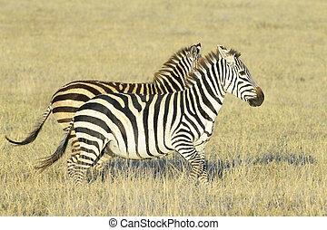 Zebra Equus quagga - Two Zebra Equus quagga running on...