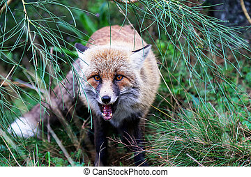 Fox - This is photo of fox on Etna, Sicily