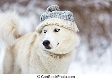 White husky in winter - White husky wearing a hat in winter