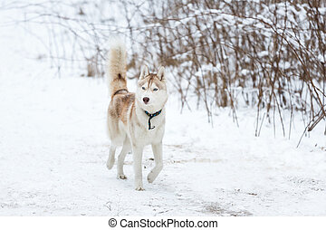 Red husky in winter - Young red husky walking in winter...