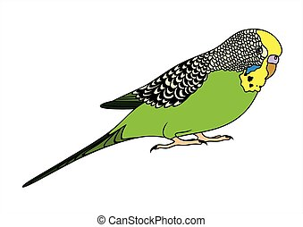 Green budgie - Vector illustration of green budgie on white...