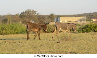 Donkeys in Africa - Donkeys roam freely through a rural...