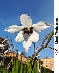 Acidanthera bicolor - Atsidantera two-tone Acidanthera...