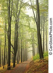 Beech forest in early autumn - Trail through the beech...