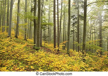 Beech forest in early autumn - Beech forest in misty weather...