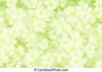 Snow-in-Summer Cerastium tomentosum flower blossom. Greeting...