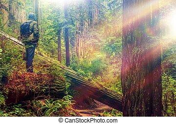 secoya, bosque, excursionista,