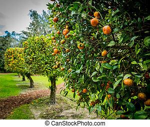 Orange Trees in a row