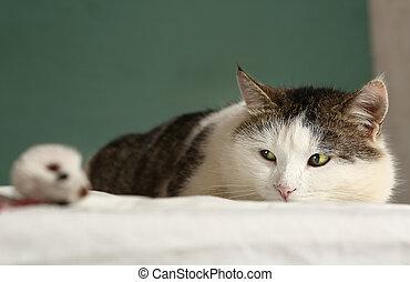 fat cat look at mouse close up portrait - fat siberian cat...