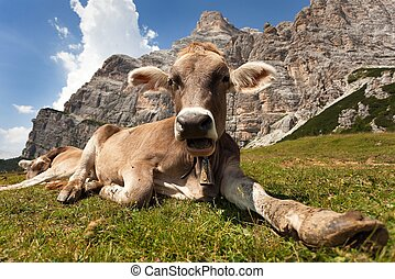 head of brown cow (bos primigenius taurus), with cowbell -...