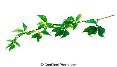 Green twig of grapes leaves Parthenocissus quinquefolia...