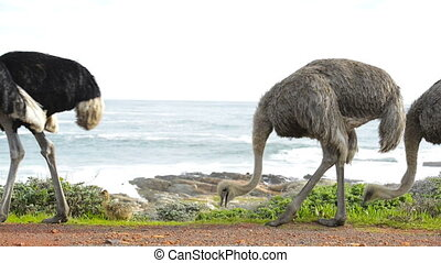 Ostrich South Africa - Ostrich or Common Ostrich is a large...