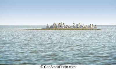 Pelicans in Africa - Large flock of Pelicans sitting on a...