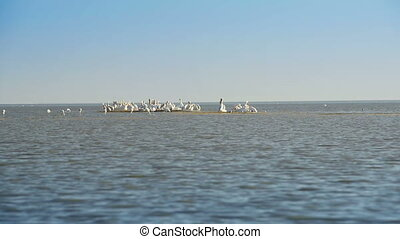 Pelicans in Botswana Africa - Large flock of Pelicans...