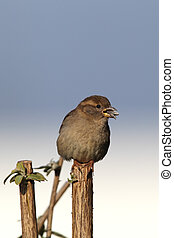 House Sparrow Passer domesticus - Female House Sparrow...