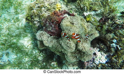 Sea anemone and clown fish - Clownfish on the soft coral,...