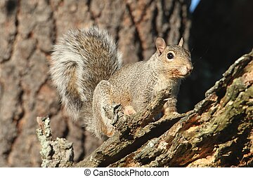 Gray Squirrel (sciurus carolinensis) in a forest in a tree