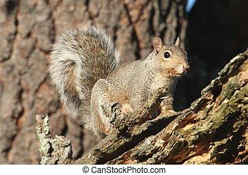 Gray Squirrel (sciurus carolinensis) in a forest in a tree
