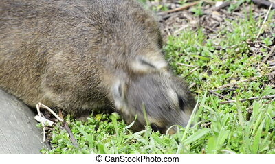 Rock Dassie Hyrax - The rock hyrax or rock badger, also...