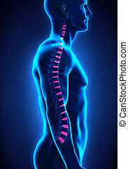 Backbone Intervertebral Disc