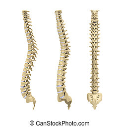 Human Spine Anatomy isolated on white background 3D render