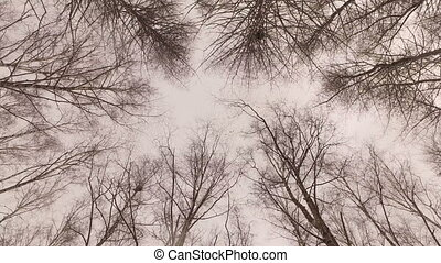 Tops of trees in winter forest. Tall pine trees stretch to...