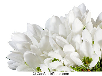 snowdrop flowers nosegay isolated on white - Spring snowdrop...