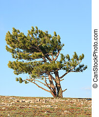 pine tree on sky background