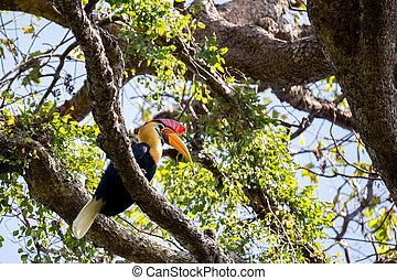 beutifull Knobbed hornbill - Knobbed hornbill, Aceros...