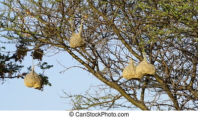 Weaver Birds Nests Africa - Amazing hanging nests made by...