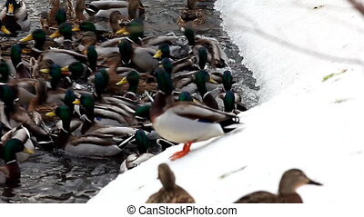 Ducks feed on winter lake
