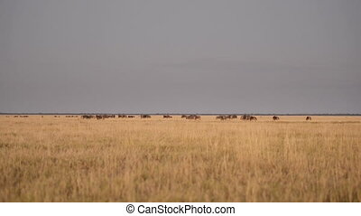 Wildebeests on African Safari - Wildebeests, also called...