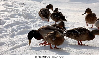 Ducks walk on snow