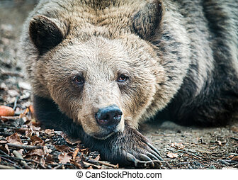 Brown wild bear - Big brown bear in the forest