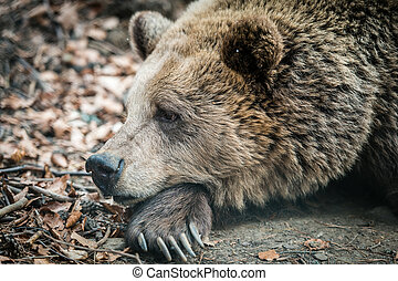 Wild brown bear - Brown dancing bear