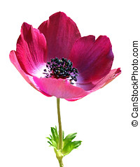 Anemone Isolated - Vibrant Anemone, Isolated