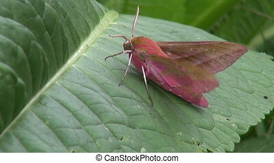 Deilephila porcellus butterfly - Small elephant hawk-moth...