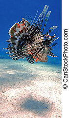 Colorful lionfish - Amazing venomous Lion fish, Pterois...