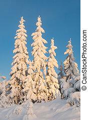 Heavily snowcapped trees in sunset (vert) - Heavily...