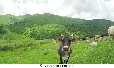 Cow in mountains summer - Without leash cow on mountain...
