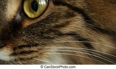 Face of cat closeup - Face of tabby cat closeup