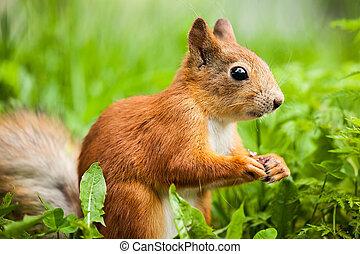 red squirrel (Sciurus) standing on hind legs