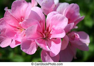 Geranium - Pink Geranium