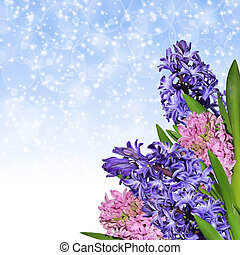 Hyacinths - Bunch of blooming hyacinths on winter abstract...