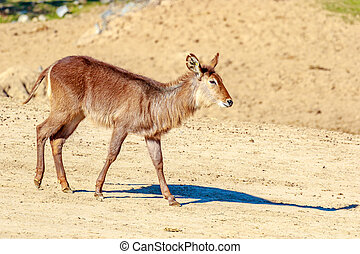 Female Defassa Waterbuck walking on dry land