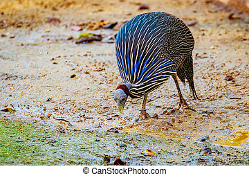 Guineafowl - An adult Guineafowl looking for Food on the...